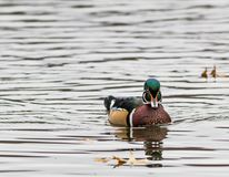 Wood Duck, Aix sponsa, male swims towards viewer. The wood duck is one of the most colorful ducks found in North America.  Is is swimming in beautiful reflective Royalty Free Stock Images