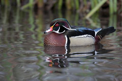 Wood duck, Aix sponsa,. A single captive male swimming on water Stock Images