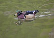 Wood Duck Aix sponsa Royalty Free Stock Photo