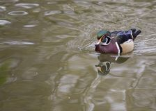 Wood Duck Aix sponsa. Spotted outdoors in Dublin, Ireland Stock Photos