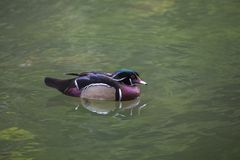 Wood Duck (Aix sponsa). Spotted in Phoenix Park, Dublin Stock Photos