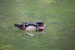 Wood Duck (Aix sponsa) Royalty Free Stock Image
