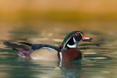 Wood duck - Aix sponsa Royalty Free Stock Photos