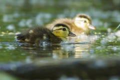 Wood duck babies Royalty Free Stock Photos