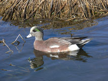 Wood Duck. A duck in beautiful clean water Royalty Free Stock Photo