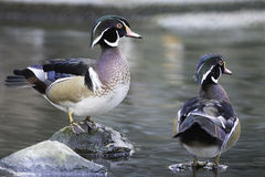 Wood Duck. Beautiful duck, male Wood Duck (Aix sponsa), in portrait profile Stock Images