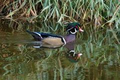 Wood duck bird. At Delta BC Canada 2017 Oct royalty free stock photo