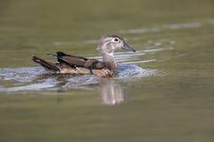 Wood duck bird. At Vancouver BC Canada stock photos