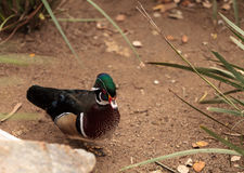 Wood duck called Aix sponsa Royalty Free Stock Photos