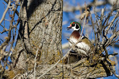 Wood Duck Calling While Perched in a Tree. Male Wood Duck Calling While Perched in a Tree Stock Images