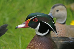 Wood duck - Carolina duck Stock Photos