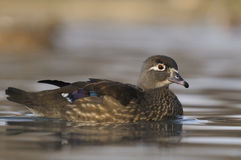 Wood Duck or Carolina Duck, Aix sponsa - female Royalty Free Stock Images