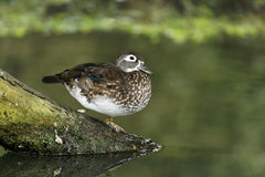 Wood duck or Carolina duck, Aix sponsa Stock Photography
