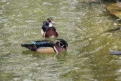 The wood duck or Carolina duck, Aix sponsa is a species of perching duck stock photos