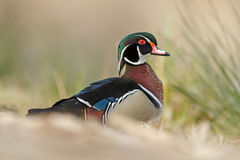 The wood duck or Carolina duck (Aix sponsa) Royalty Free Stock Image