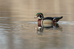 The wood duck or Carolina duck (Aix sponsa) Stock Photo
