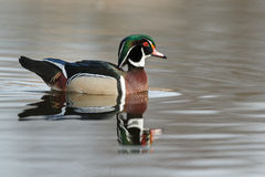 The wood duck or Carolina duck (Aix sponsa) Stock Photos