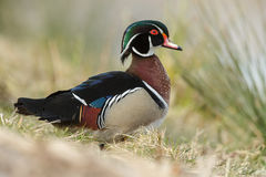 The wood duck or Carolina duck (Aix sponsa) Stock Photography