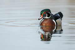 The wood duck or Carolina duck (Aix sponsa) Stock Images