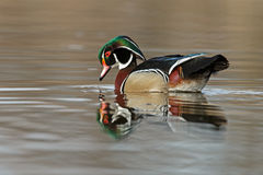 The wood duck or Carolina duck (Aix sponsa) Royalty Free Stock Photo