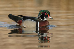 The wood duck or Carolina duck (Aix sponsa) Royalty Free Stock Images