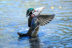 A wood duck male in blue water drying its wings. The wood duck or Carolina duck is a species of perching duck found in North America. It is one of the most Stock Photography