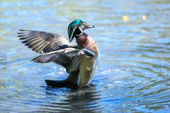 A wood duck male in blue water drying its wings. The wood duck or Carolina duck is a species of perching duck found in North America. It is one of the most Stock Photo