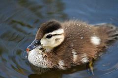 Wood duck chick closeup. 