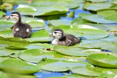 Wood duck chicks take a swim amongst the lily pads in the lake.  stock image