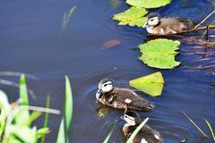 Wood duck chicks take a swim in the lake.  royalty free stock photos
