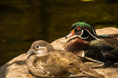 Wood Duck. A close up of Wood Ducks Royalty Free Stock Photos