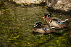 Wood Duck. A close up of Wood Ducks Stock Photography