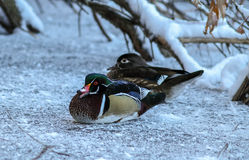 Wood Duck Couple royaltyfria bilder