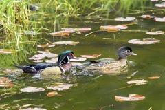 Wood duck couple. Stock Photography