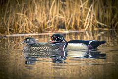 Wood duck couple in pond. A wood duck couple swims together in the small pond at Cannon Hill Park in Spokane, Washington Stock Images