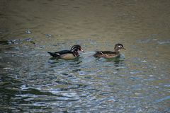 Wood Duck Couple on the River. A pair of colorful Wood Ducks swimming together along the Arkansas River near Lake Pueblo, Colorado Stock Photography