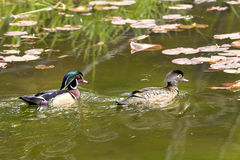 Wood duck couple swimming in pond. Royalty Free Stock Images