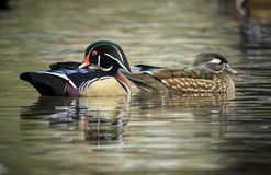 Beautiful wood duck couple. A wood duck couple swims together in the small pond at Cannon Hill Park in Spokane, Washington Royalty Free Stock Photos