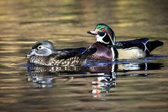 Beautiful wood duck pair. A wood duck couple swims together in the small pond at Cannon Hill Park in Spokane, Washington Stock Images