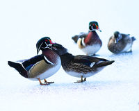 Wood Duck Couples Royaltyfri Bild