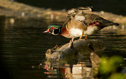 Wood duck drake Stock Photo