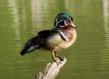 Wood Duck Drake. An elegant looking male Wood Duck perched on a log with a green background Stock Photo