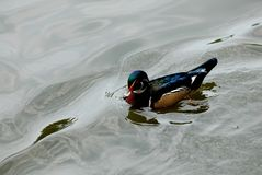 Wood Duck Drake. A brightly colored male wood duck in full breeding plumage Stock Photos