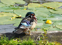 Wood Duck Drake. A colourful male Wood Duck sitting on a log Stock Photo