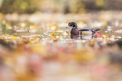 Wood duck drake Stock Image