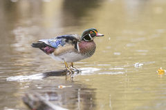 Wood duck drake Stock Images
