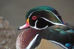 Wood Duck Drake. Male wood duck, drake close up Royalty Free Stock Photos