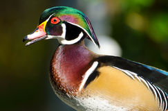 Wood Duck Drake, Male. Male wood duck drake portrait, a colorful duck Stock Images
