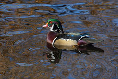Wood Duck Drake. Male wood duck drake swimming in lake with autumn reflections Stock Image