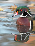 Wood duck drake portrait Stock Images